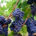 Vindrueklaser - Jesu lignelse om arbejderne i vingården